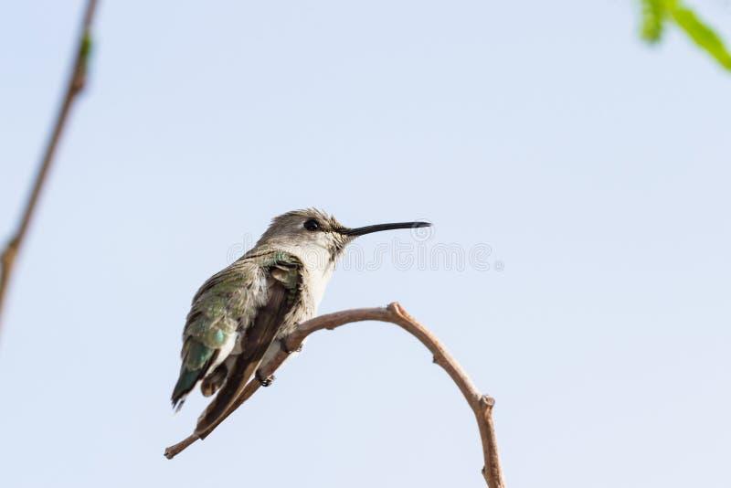 Colibrì nero--Chinned femminile fotografie stock libere da diritti