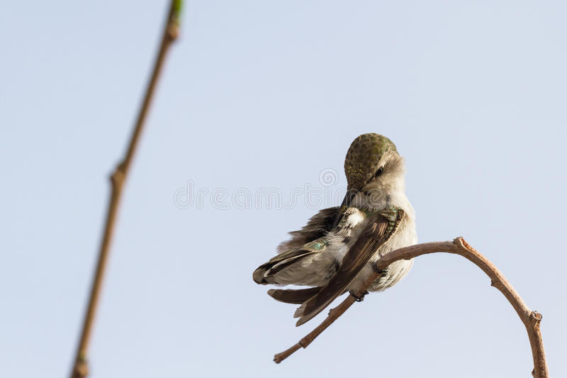 Colibrì nero--Chinned femminile fotografia stock