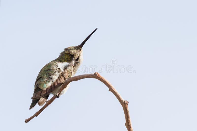 Colibrì nero--Chinned femminile fotografie stock