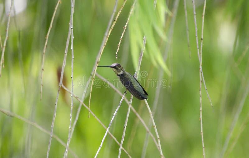 Colibrì nero di Chinned, deserto delle zone umide di Sweetwater, Tucson Arizona immagini stock libere da diritti