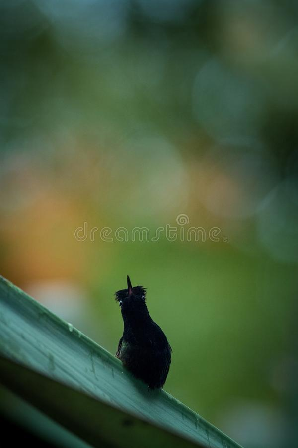 colibrì Nero-gonfiato che si appollaia sulla foglia, fondo variopinto, bello colibrì nero minuscolo, uccello che riposa sul fiore immagini stock