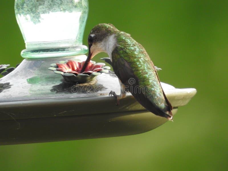 Colibrì in Ontario Canada fotografie stock libere da diritti