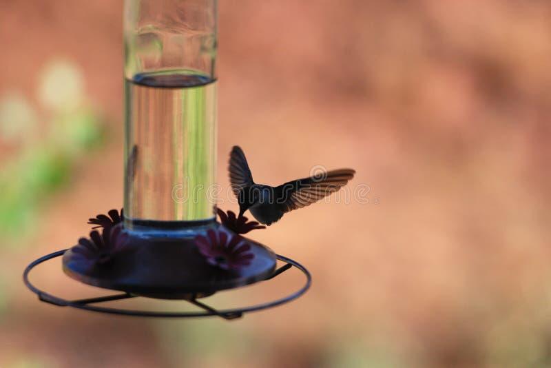 colibrì operato fotografia stock