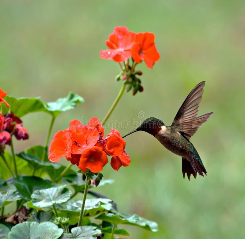 colibrì Rubino-throated