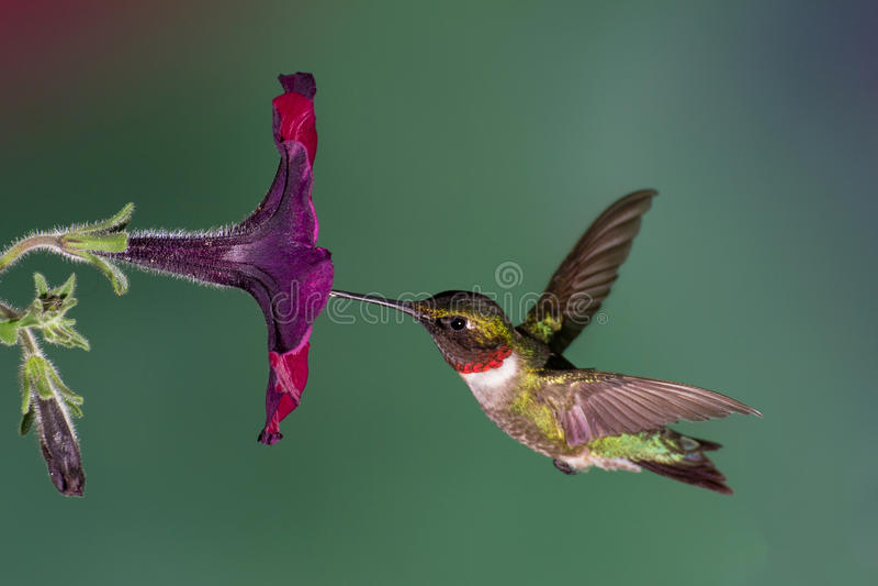 Colibrì Rubino-Throated fotografie stock