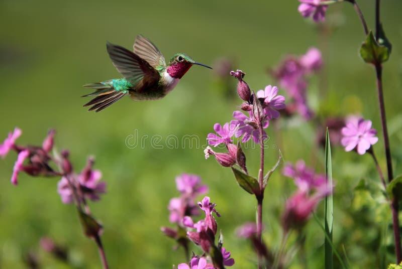 colibrì Rubino-throated e fiori rosa di estate fotografia stock libera da diritti