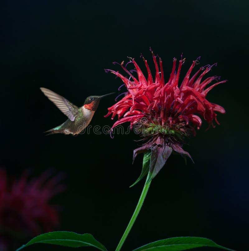 colibrì Rubino-throated sul balsamo di ape immagine stock