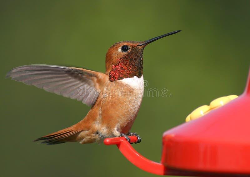 Colibrì Rufous fotografie stock libere da diritti