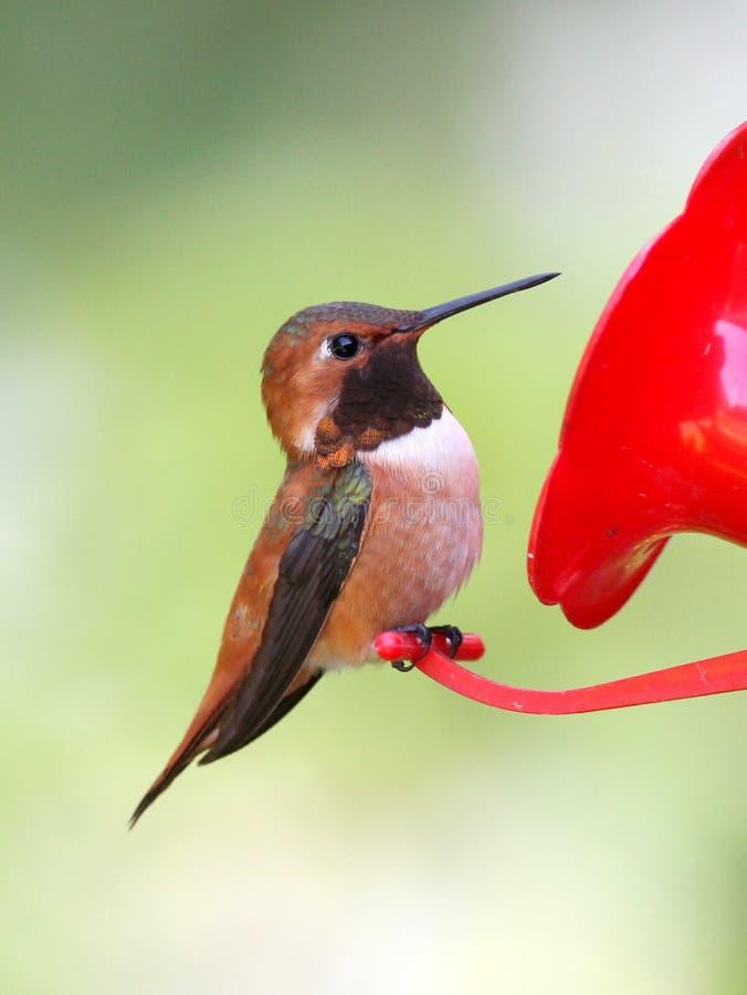 Colibrì Rufous appollaiato su un alimentatore fotografia stock libera da diritti