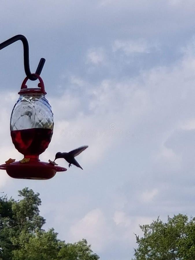 Colibrì 1 - siluetta, volo mentre mangiando fotografia stock
