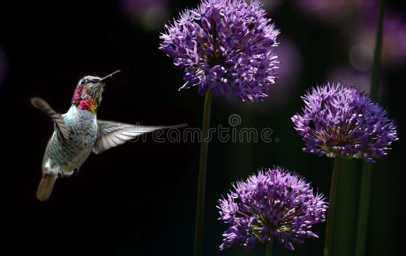 Colibrì sopra fondo nero con i fiori porpora fotografie stock libere da diritti