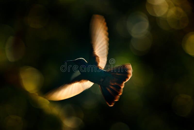 Colibrì, uguagliante arte di tramonto Viola-orecchio verde, thalassinus di Colibri, volo dell'uccello accanto al bello fiore gial fotografia stock libera da diritti