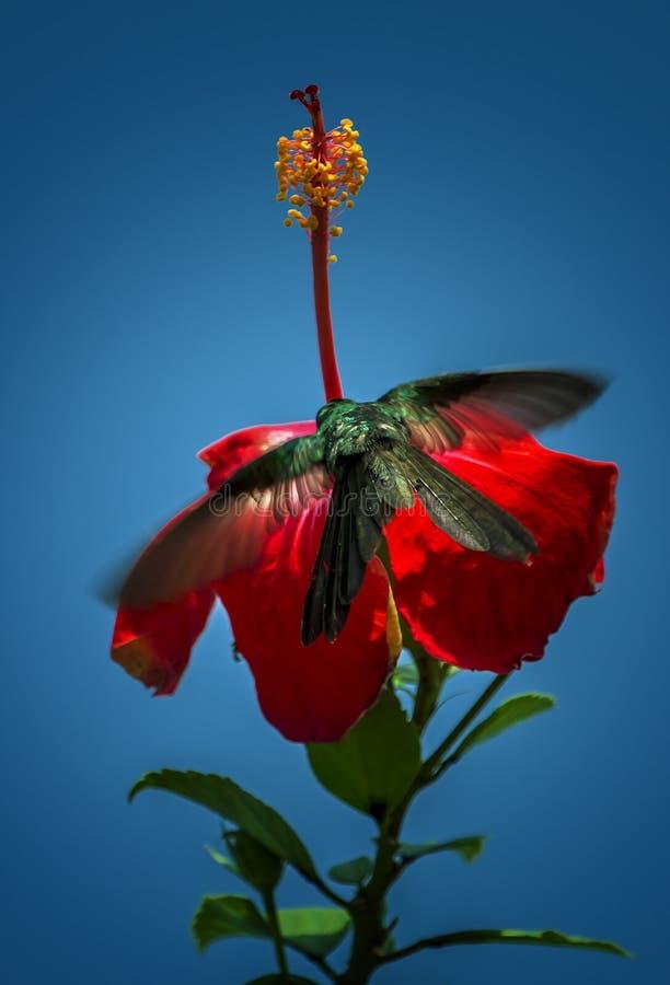 Colibrì in un fiore immagini stock libere da diritti