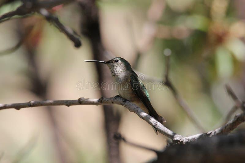 colibrì Vasto-munito immagine stock