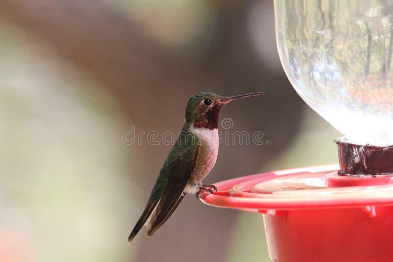 colibrì Vasto-munito fotografia stock libera da diritti