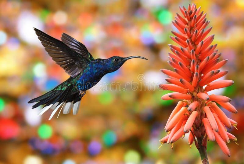 Colibrì Violet Sabrewing con il fiore tropicale fotografia stock