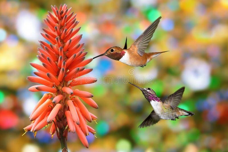 Colibrì Violet Sabrewing con il fiore tropicale fotografia stock libera da diritti