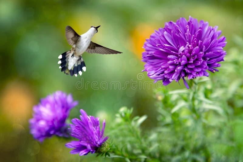 Colibrì in volo con i fiori porpora fotografie stock