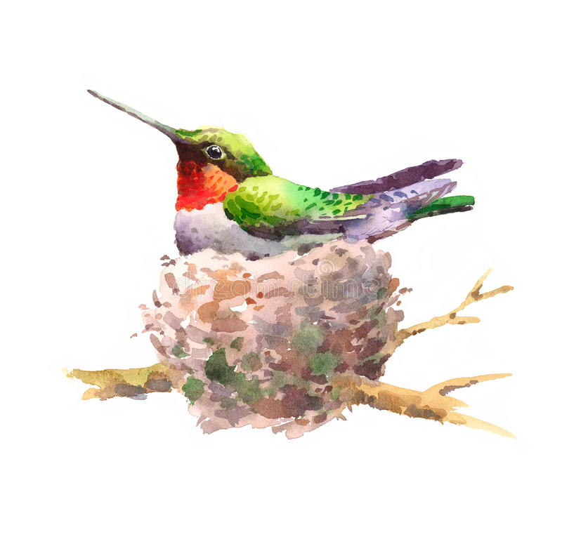 Colibrí en la mano del ejemplo del pájaro de la acuarela de la jerarquía dibujada libre illustration