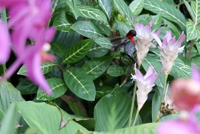 Colibrí en una flor de la orquídea imagen de archivo