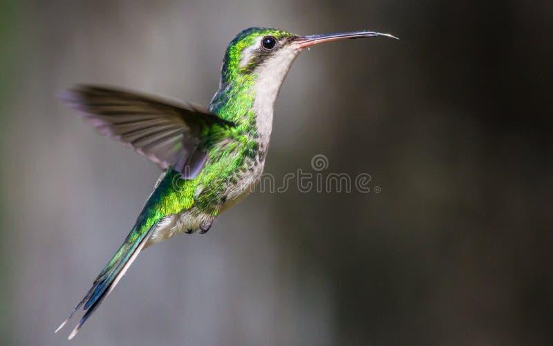 Colibrí esmeralda fotos de archivo