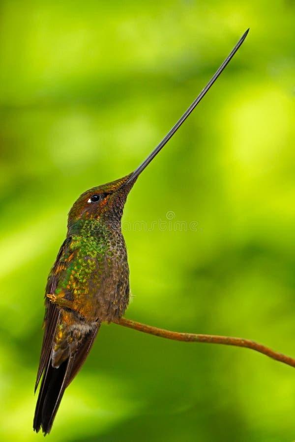 colibrí Espada-cargado en cuenta, ensifera de Ensifera, se observa como la única especie de pájaro para tener una cuenta más de l foto de archivo libre de regalías