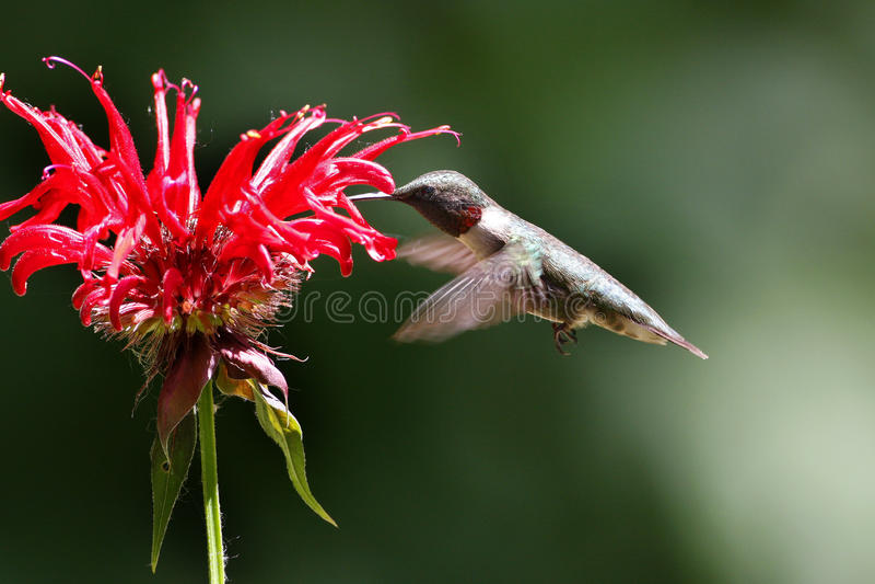 Colibrí masculino que alimenta en una flor foto de archivo libre de regalías