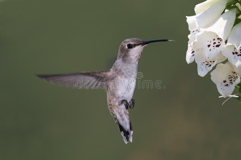 Colibrí Negro-chinned foto de archivo
