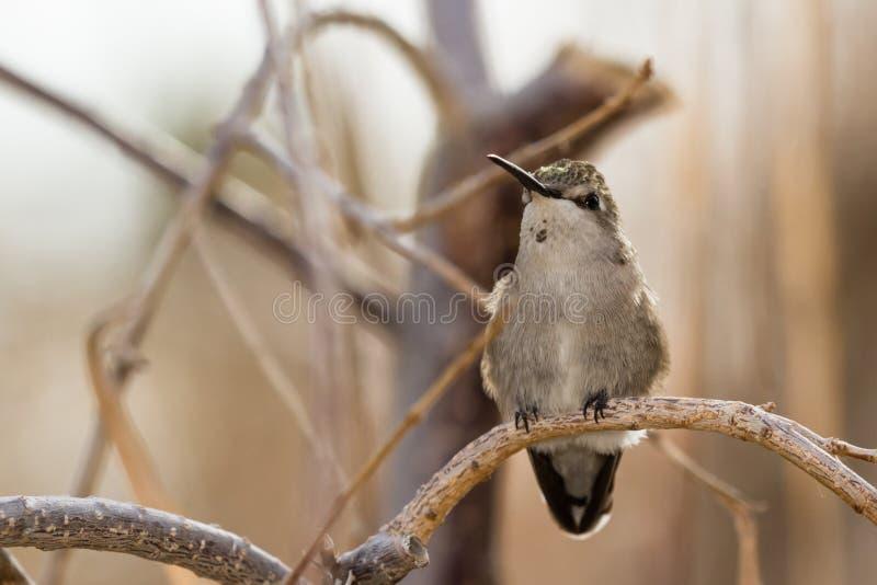 Colibrí negro-Chinned femenino imagen de archivo