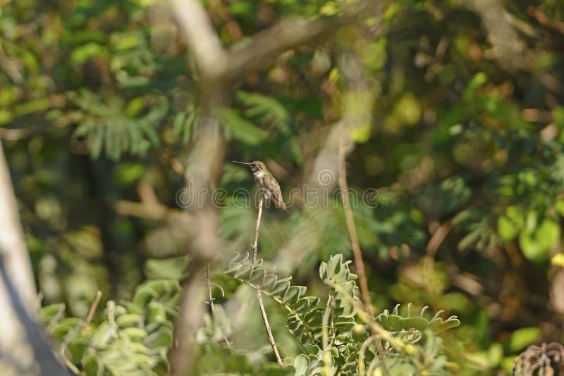 Colibrí negro de Chinned en un árbol imagenes de archivo