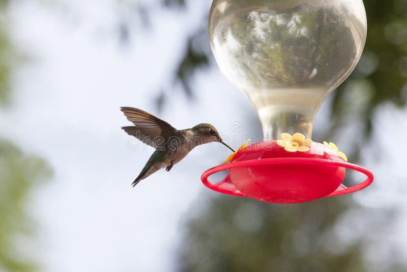 Colibrí que asoma sobre alimentador con las alas detrás foto de archivo