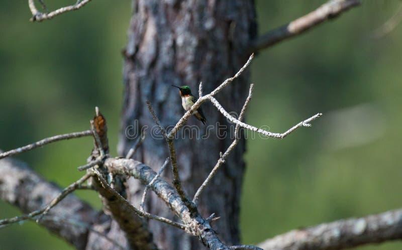 Colibrí que se sienta en un árbol imagen de archivo
