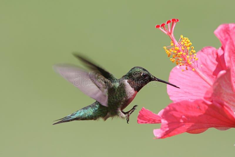 colibrí Rubí-throated fotografía de archivo