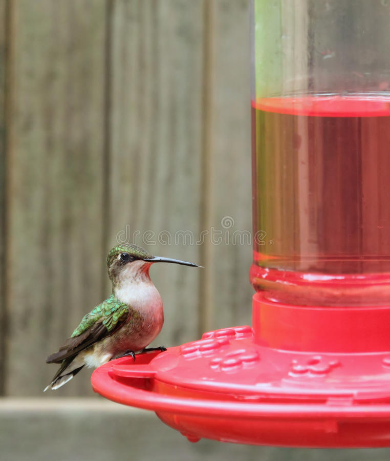colibrí Rubí-throated, colubris del Archilochus fotos de archivo