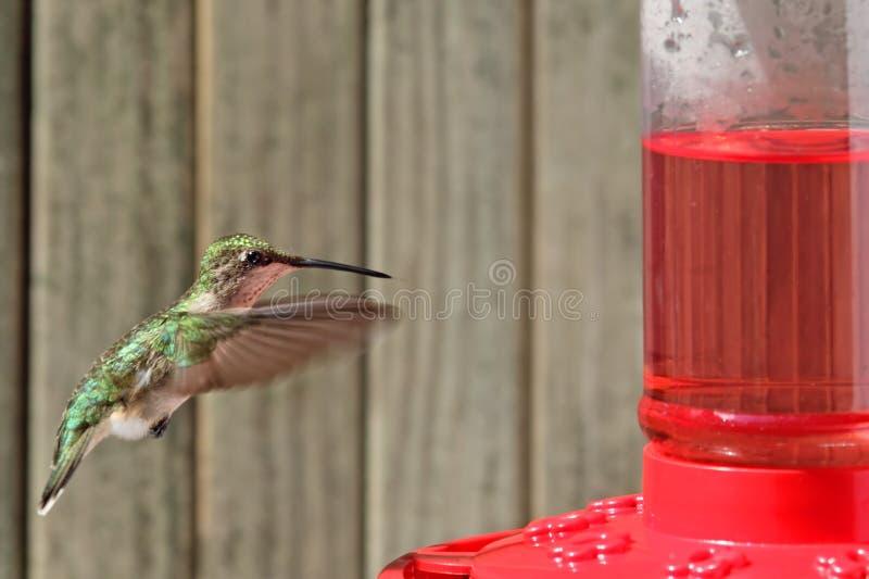 colibrí Rubí-throated, colubris del Archilochus foto de archivo libre de regalías