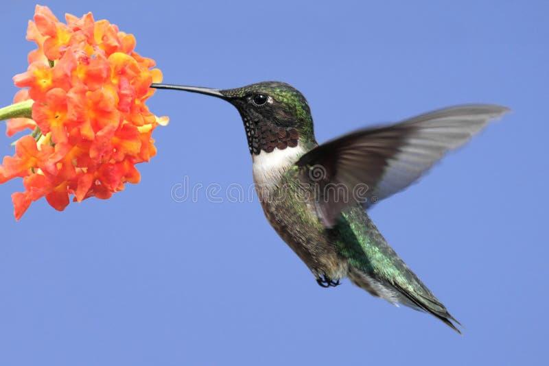 colibrí Rubí-throated (colubris del archilochus) foto de archivo libre de regalías