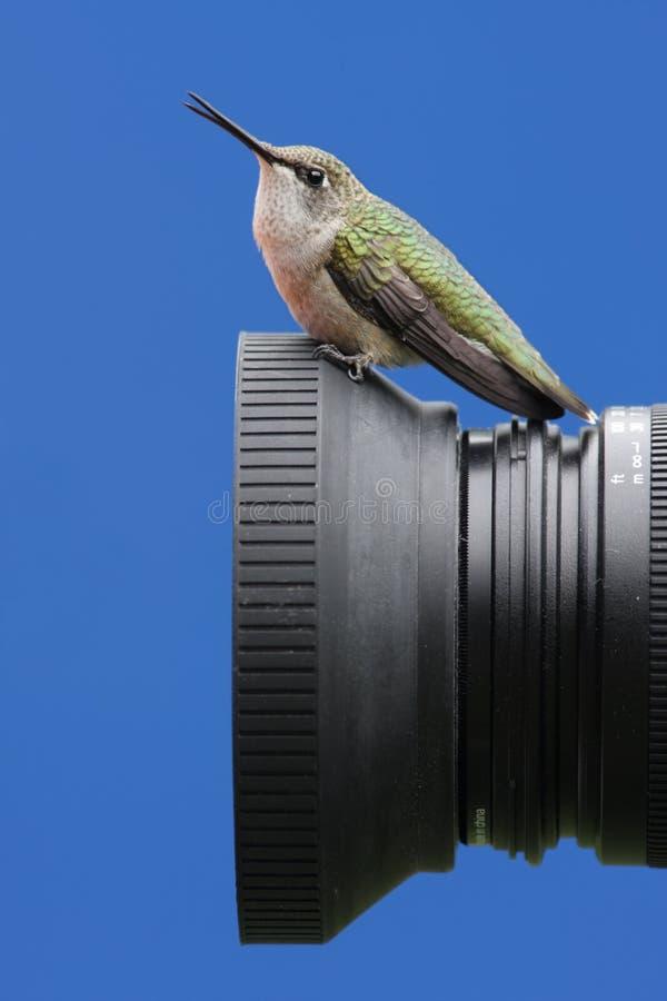 colibrí Rubí-throated en una cámara imagen de archivo