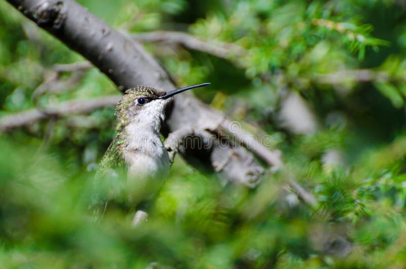 Download Colibrí Rubí-Throated Encaramado En Un árbol Imagen de archivo - Imagen de hummingbird, reclinación: 42426181