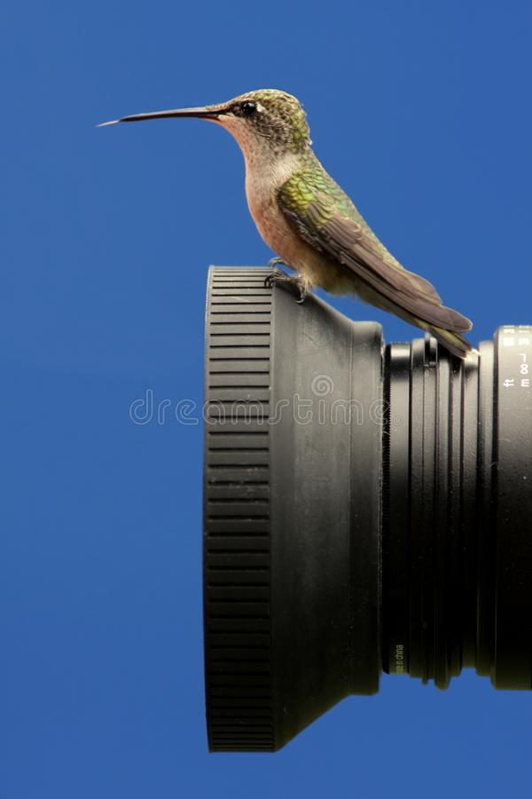 colibrí Ruby-throated encaramado en una cámara fotos de archivo