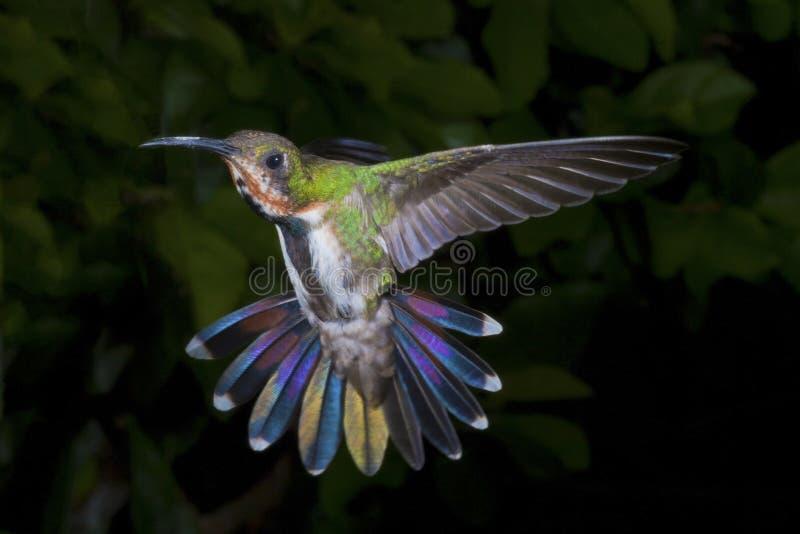 Colibrí Verde-Breasted femenino del mango fotografía de archivo