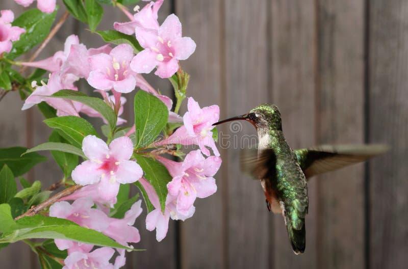 colibrí y madreselva Rubí-throated fotos de archivo libres de regalías