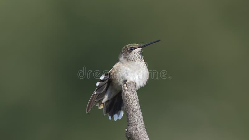 Colibri étirant ses plumes de queue photos stock