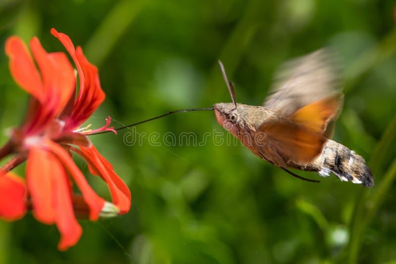 Colibri ćma karmienie podczas gdy latający fotografia stock