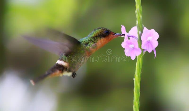 Colibri 04 foto de stock
