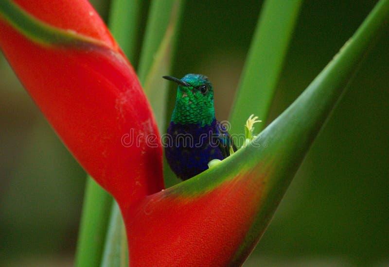Colibri image libre de droits