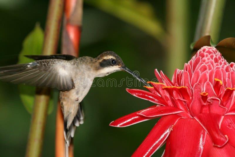 Colibri 7 photos libres de droits