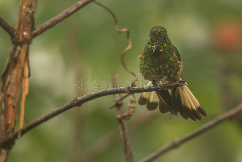 colibri photographie stock