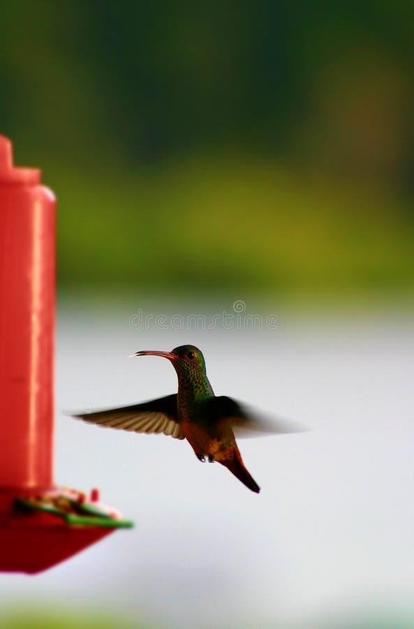Colibri au câble d'alimentation d'oiseau image stock