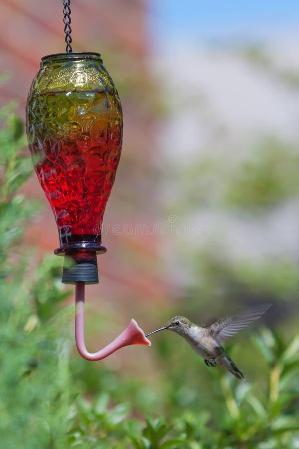 Colibri au conducteur image stock