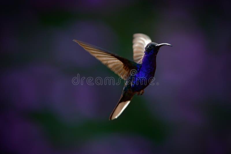 Colibri azul grande de voo Violet Sabrewing com a flor violeta escura borrada no fundo imagem de stock royalty free